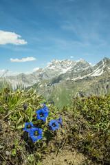 Enzian in den Alpen