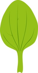 Leaf of greater plantain