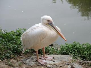 Pelican blanc 6
