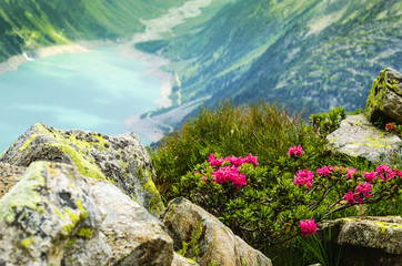 Mountain flowers of the alpine lake, valley Zillertal, Alps