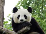 Fototapety Panda Géant 3