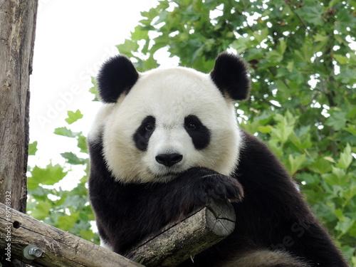 Foto Spatwand Dragen Panda Géant 3