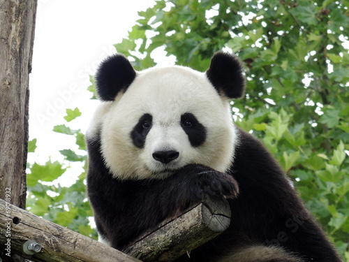 Fotobehang Panda Panda Géant 3