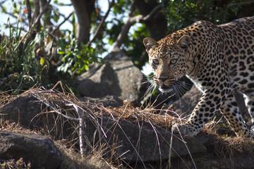 Wild leopard feline in the bush