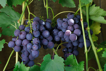 two clusters of blue grape