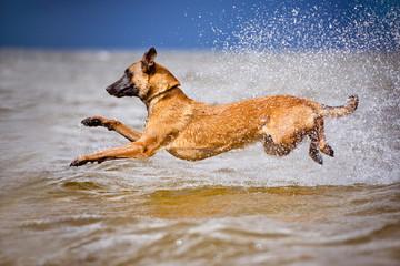 belgian shepherd dog jumps into water