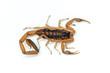 Bark Scorpion - 69021570