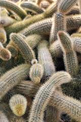 Cleistocactus Winteri