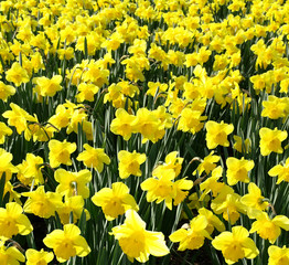 Outdoor shot of yellow daffodils in nicely full flowerbed