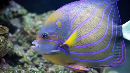 Annularis Angelfish (Pomacanthus annularis)