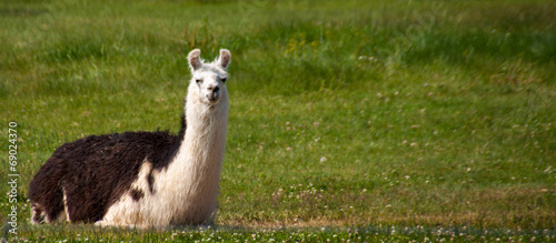 Staande foto Lama Llama Enjoying Some Wyoming Sunshine