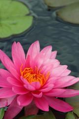 ピンク色の睡蓮