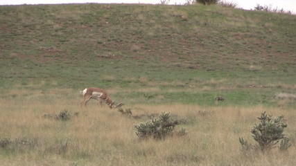 Pronghorn Buck Grazing