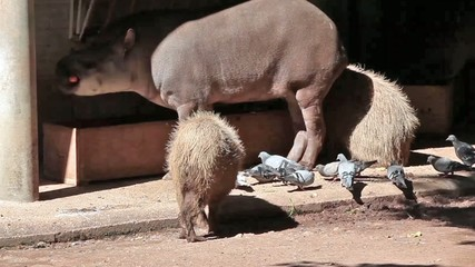 Capybara And South American Tapir