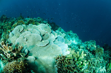 rice coral Montipora capitata in Gorontalo underwater