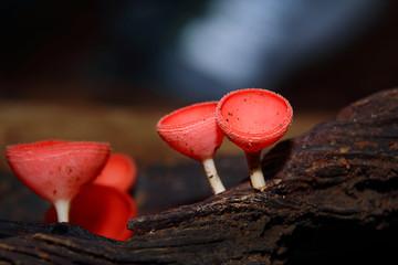 Mushroom Champagne