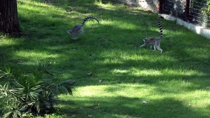 Three Lemurs (Lemur Catta) Playing
