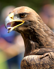 close-up of a mighty Eagle