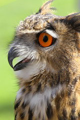 OWL with fluffy feathers and huge orange eyes and beak open