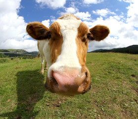 cute cow photographed with fisheye lens