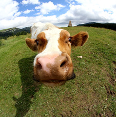 funny cow muzzle photographed with fisheye lens