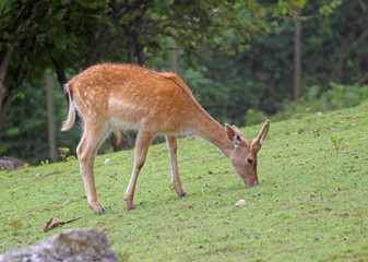 Fawn while grazing the grass mountain meadow
