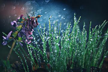 Corydalis spring flower