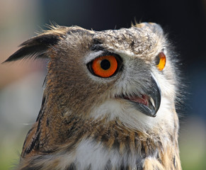 OWL with fluffy feathers and huge orange eyes