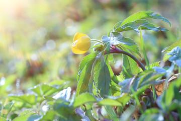 buttercup, small yellow flower macro