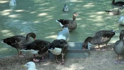 Grey Geese