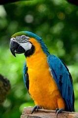 Blue and yellow gold macaw parrot