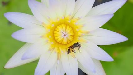 bee on white lotus