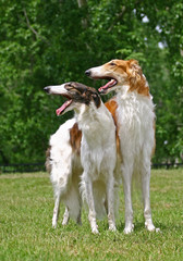 The Borzoi  dog