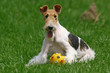 The Wire Fox Terrier dog