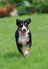The Appenzeller Sennenhund dog