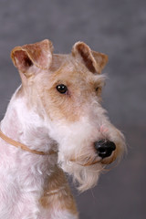Foxterriers portrate