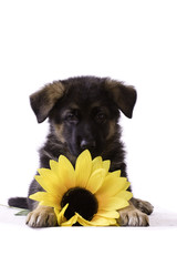 Puppy with sunflower