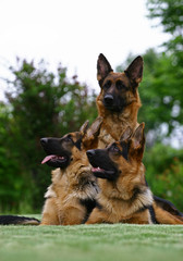 The German Shepherd Dog with puppies