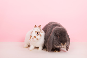 French lop and white rabbit