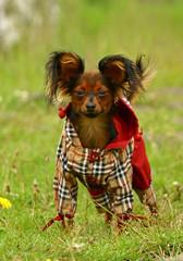 The Russkiy Toy dog