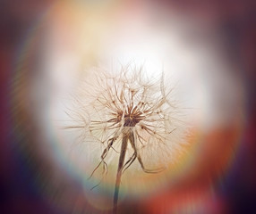 Dandelion seeds - Dandelion