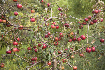 small apple tree full of red apples