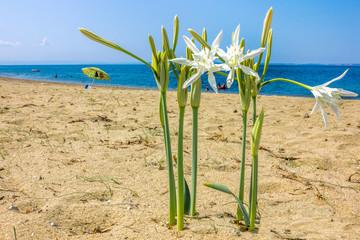 Sea daffodil grows on coastal sands.