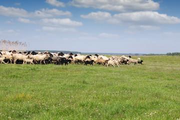 herd of sheep running on field