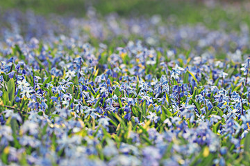 little blue flowers meadow spring background