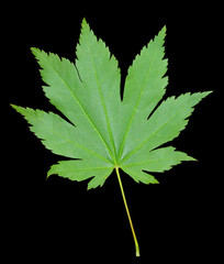 Leaf of maple 3