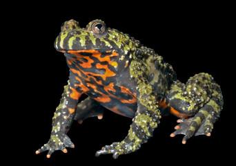 Frog (Bombina orientalis) 7