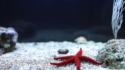 Red Sea Star (Fromia milleporella)
