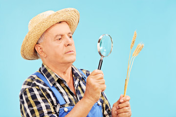 Farmer looking at a wheat straw through magnifier