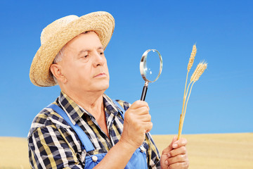 Farmer examining his harvested wheat in a field